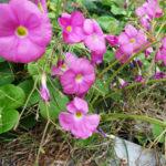 秋にピンク色の花 クローバーみたいな葉っぱ この花は?