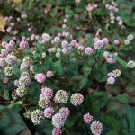 秋にピンク色の丸い花が目立つ「ヒメツルソバ」