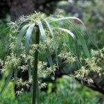 カヤツリグサの雑草対策 芝生雑草の困りもの「カヤツリグサ」の対策
